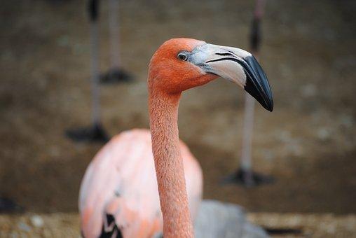 Flamingo, Pink, Bird, Animal, Nature, Wildlife, Exotic