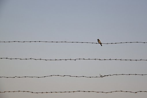 Bird, Single, Barbed Wire, Animal, Qom