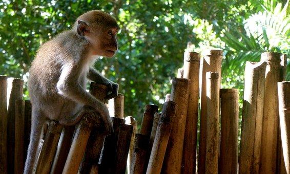 Monkey, Animal, Thailand, Small, Krabi, Vacations