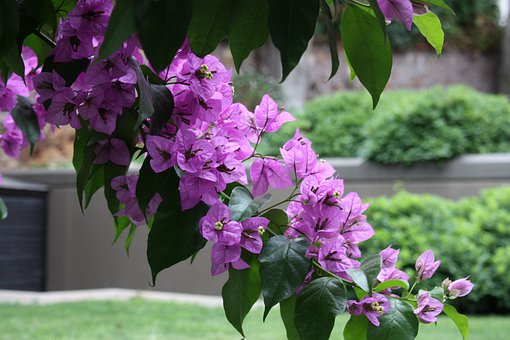 Bougainvillea, Garden, Begonias, Flower