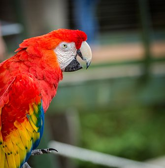 Parrot, Red, Bird, Colorful, Plumage, Feather, Parrots