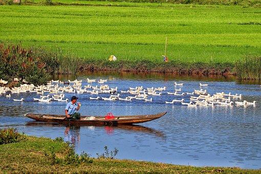 Vietnam, Da Nang, Man Boat, Geese, River