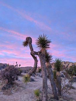 Joshua, Tree, Desert, California, Landscape, Nature