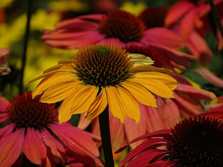 Echinacea, Flower, Bloom, Blossom, Summer, Colorful