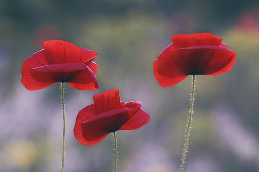 Remembrance Day, Flower, Poppy, Red, War, Memorial