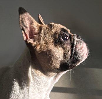 Dog, French Bulldog, Puppy, Pet, Photo