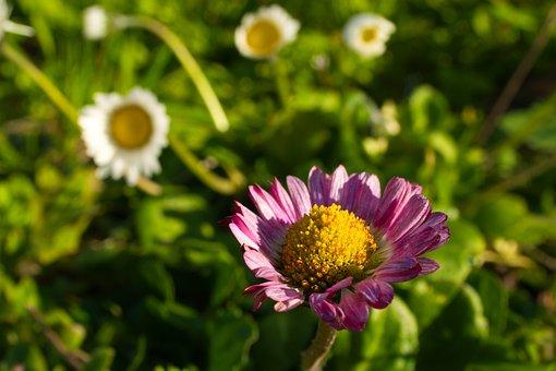Daisy, Spring, Sunshine, Nature, Garden, Plant, Flowers