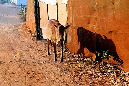Goa, Anjuna, India, Travel, Asia, Cow, Holy Animal
