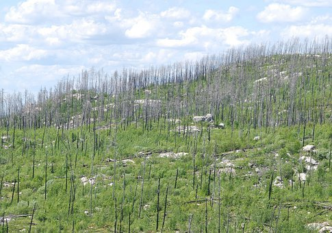 Trees, Death, Life After Death, After Forest Fire