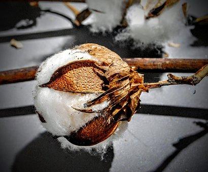 Cotton, Cocoa Plant, White, Mallow, Mature Plant