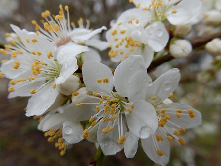 White, Spring, Flowers, Rain, March, Prunus