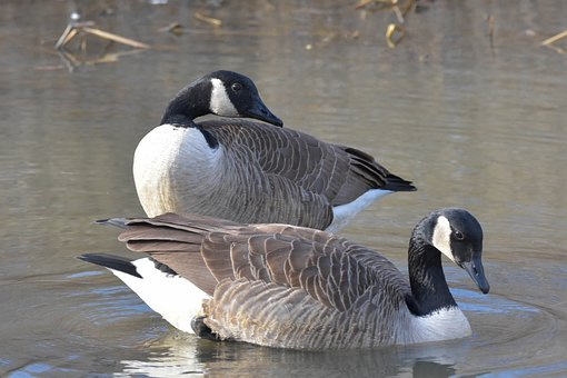 Nature, Wildlife, Birds, Canada Geese, Mated Pair