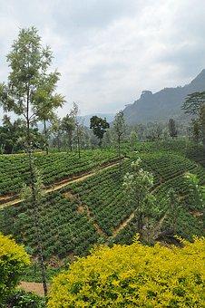 Tea, Tea Plantation, Sri Lanka, Hills, Mountains