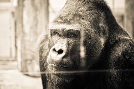 Monkey, Animals, Gorilla, Face, Nature, Animal, Wild