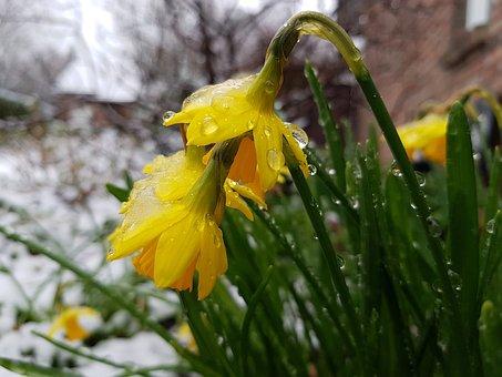Osterglocken, Flowers, Spring, Nature