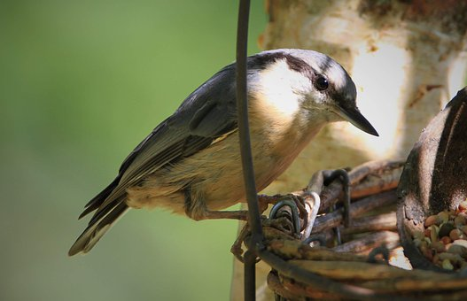 Nuthatch, Bird, Songbird, Garden, Nature