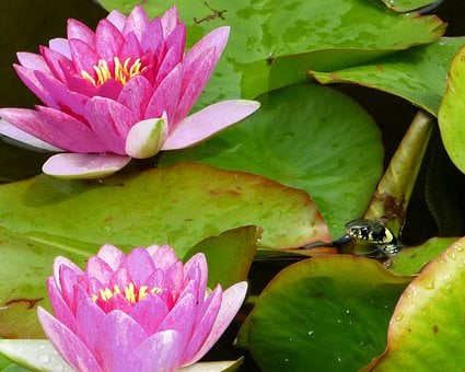 Water Lilies, Nymphaea, Aquatic Plant, Blossom, Bloom