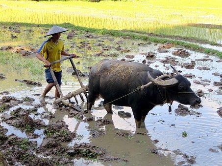 Laos, Rice, Buffalo, Labour, Plantation, Rural