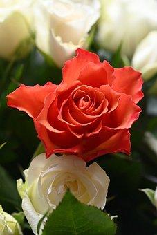 Rose, Rose Bloom, Flower, Blossom, Bloom, Petals