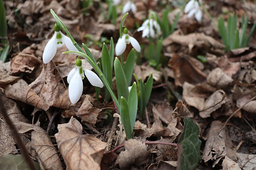 Snowdrop, Hello March, Spring, Nature, Plant, Bloom