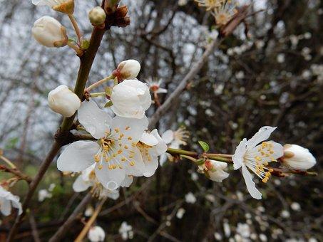 Sloe, Flower, White, Spring, Raindrops