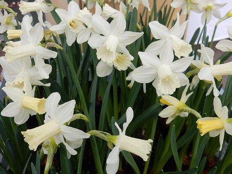 Daffodil, White, Flower, Spring, Narcissus, Springtime