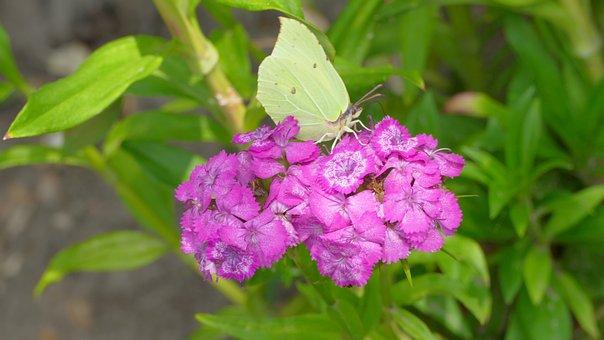 Flower, Butterfly, Pink, Summer, Garden