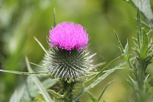 Thorns, Flower, Nature, Exotic, Thorny, Purple, Summer