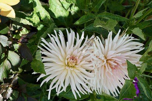 Victoria Island, Butchart, Gardens, British, Flower
