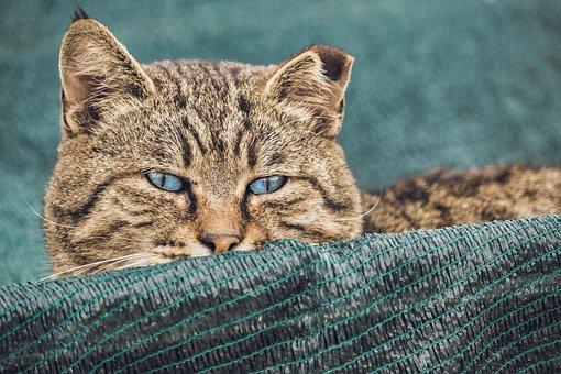 Cat, Tiger, Mammal, Hidden, Predator