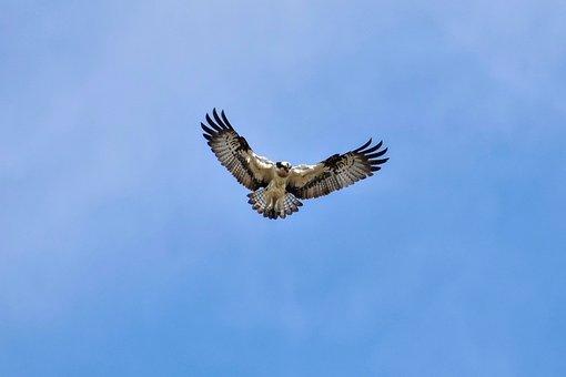 Animal, Sky, Cloud, Bird, Wild Birds, Raptor, Osprey