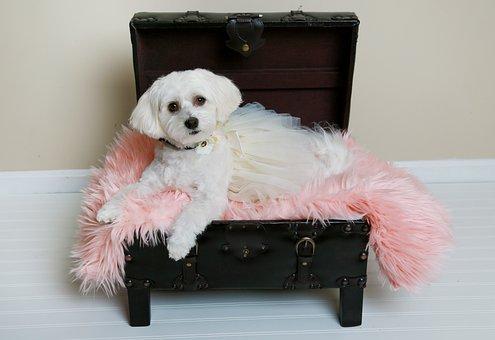 Dog, Havanese, Pet, Animal, White, Cute, Sweet, Puppy