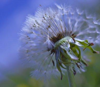 Dandelion, Blossom, Bloom, Seeds, Plant