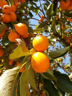 Persimmon, Fruits, Orange, Tree, Foods