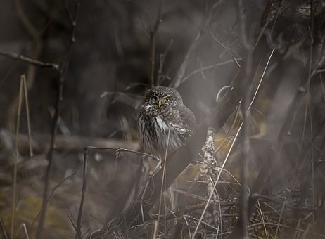 Eurasian Pygmy Owl, Glaucidium Passerinum, Bird