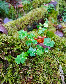 Wood Sorrel, Moss, Green, Forest, Sorrel