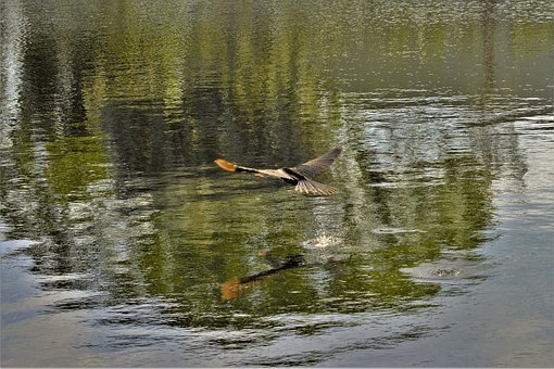 Bird, Flying, Pooping Over Water, Large Bird, Wings