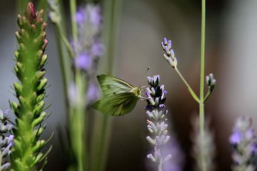 Butterfly, Lavender, Purple, Green, Nature, Close Up