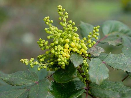 Mahogany, Mahonia Aquifolium, Spring, Green, Leaf, Bud