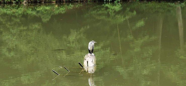 Grey Heron, Heron, Pond, Bird, Nature