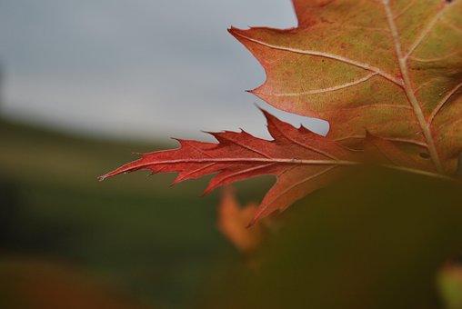 Leaf, Tree, Autumn, Orange, Close-Up