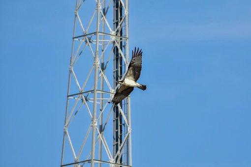Animal, Sky, Tower, Bird, Wild Birds, Raptor, Osprey