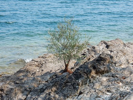 Olive, Tree, Water, Rock, Mediterranean, Italy, Magic