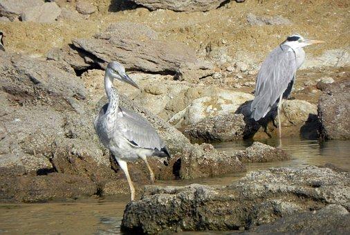 Bird, Heron, Grey Heron, River, Chambal, Ardea Cinerea
