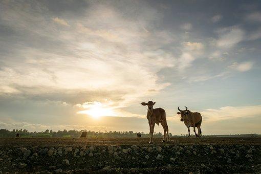 Cow, Ox, Beef, Animal, Bull, Agriculture, Farm