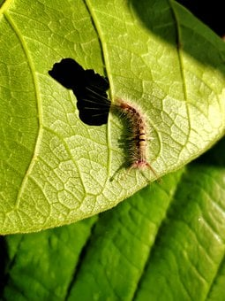 Insects, Leaf Eater, Creature, India