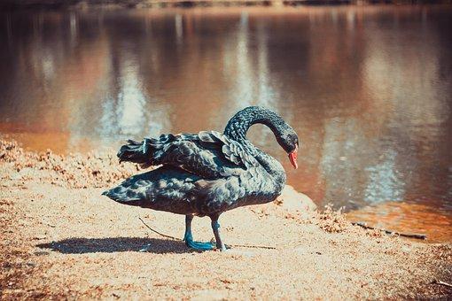 Lake, Goose, Nature, Bird, Water, Pond, Plumage