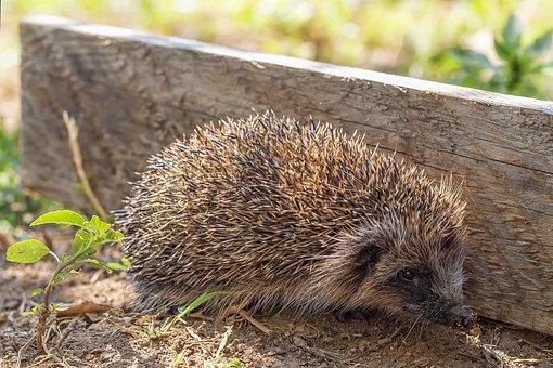 Hedgehog, Animal, Endearing, Thorny, Mammal, Small