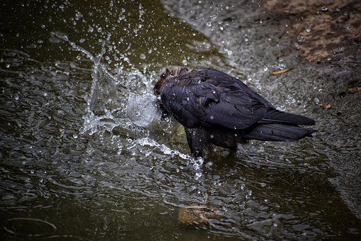 Crow, Water, Bird, Nature, Natural