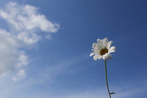 Daisy, Sky, Flower, Nature, Blue, Spring